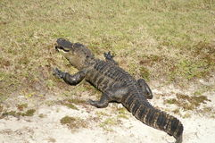 Florida Alligator Sunning on Sandy Bank Stock Images