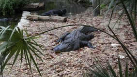Florida alligator. This was taken in florida of an alligator sunning himself Royalty Free Stock Images