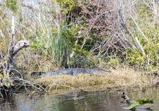 Florida alligatorer i Evergladesnationalpark nationell preserve för stor cypress Royaltyfria Bilder