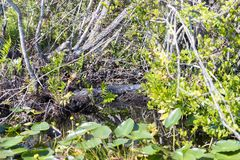 Florida alligatorer i Evergladesnationalpark nationell preserve för stor cypress Royaltyfri Foto