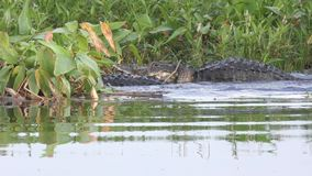 Alligators territorial fight during mating season stock footage