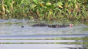 Alligators territorial fight during mating season stock video