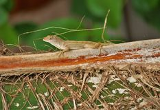 Florida Anole on Palm Frond royalty free stock image