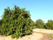 Florida apelsinproduktion Royaltyfri Fotografi