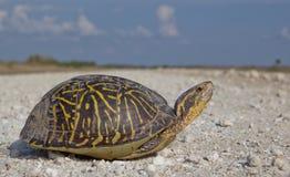 Florida asksköldpadda Fotografering för Bildbyråer
