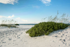 Florida Beach with Beach Rosemary Royalty Free Stock Photos