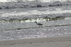 Florida beach bird. New smyrna beach florida sand bird Royalty Free Stock Photo