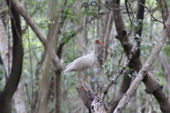 Florida beach bird. White ibis in Everglades national park, Florida Royalty Free Stock Photo