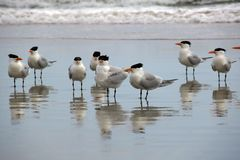 A Closer Look at the Flock of Seagulls Standing in the Wet Sand. On a Florida beach, this gathering of spiky black haired birds sticks their feet in the royalty free stock photography
