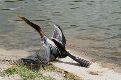 Florida bird: Anhinga Royalty Free Stock Images