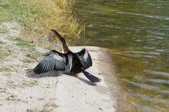 Florida bird: Anhinga. Taken in USF campus Royalty Free Stock Image