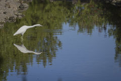 Florida Bird. Large White bird in Florida looking for food in shallow water Stock Image