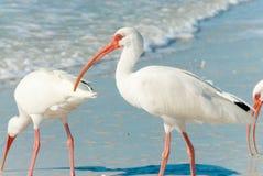 Florida birds Royalty Free Stock Photos