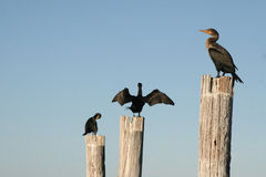 Florida birds on posts. Birds perched on posts with sky as background Royalty Free Stock Photo