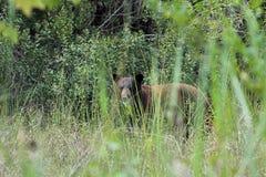 Florida Black Bear Royalty Free Stock Photos