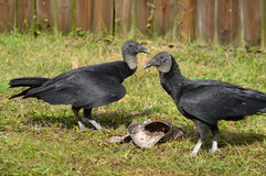 Florida: Black Vultures with Armadillo Carrion Stock Photography