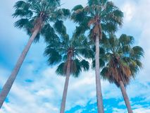 Florida Blue sky with dreamers palms stock photography