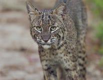 Florida Bobcat i löst Royaltyfri Foto