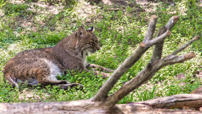 Florida Bobcat. The bobcat (Lynx rufus) is a North American mammal of the cat family Felidae Royalty Free Stock Images