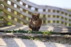 Florida Bobcat stock photo