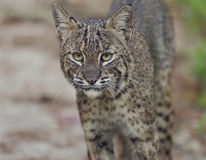 Florida Bobcat in Wild. Florida Bobcat,Close Up Shot Royalty Free Stock Photo