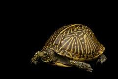 Florida Box Turtle. (Terrapene carolina bauri) on black background Stock Images