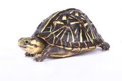 Florida box turtle,Terrapene carolina bauri. The Florida box turtle,Terrapene carolina bauri, is an endangered turtle species endemic to the United States Royalty Free Stock Photo