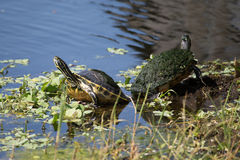Florida box turtles in marsh Royalty Free Stock Image