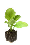 Florida Broadleaf (mustard green) seedling ready for planting in Royalty Free Stock Images