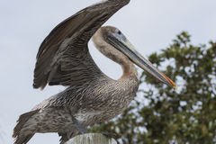 Florida Brown Pelican Royalty Free Stock Photography