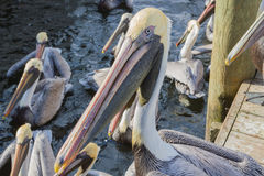 Florida Brown Pelicans Stock Image