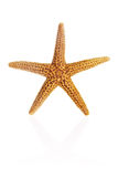 Florida Brown Starfish Stock Photography