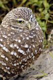 Florida Burrowing Owl. This Owl is an endangered species and is protected by State Law Royalty Free Stock Photography