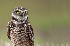 Florida Burrowing Owl. Against a blurred background Royalty Free Stock Image