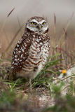 Florida Burrowing Owl Royalty Free Stock Photography
