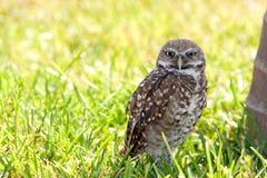 Florida Burrowing Owl Stock Photos