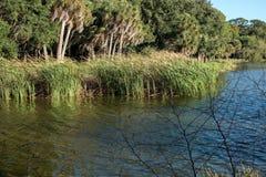 Florida Cattails Royaltyfri Bild