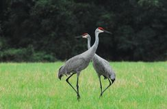 Florida- Close Up of Two Beautiful Sandhill Cranes With Necks Cr