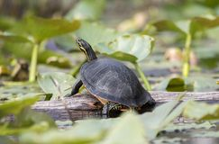 Florida Coastal Plain Cooter Turtle in Okefenokee Swamp. Florida River Cooter slider turtle on lily pads in the Okefenokee Swamp National Wildlife Refuge near royalty free stock photos