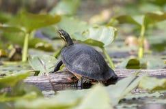 Florida Coastal Plain Cooter Turtle in Okefenokee Swamp royalty free stock photos