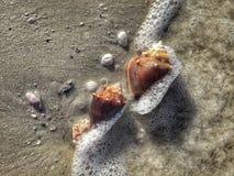 Florida Conch Shells Royalty Free Stock Photos