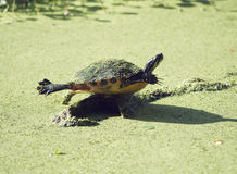 Florida Cooter on a log Royalty Free Stock Images