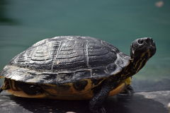 Florida Cooter Royalty Free Stock Images