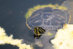 Florida Cooter Turtle Stock Photo
