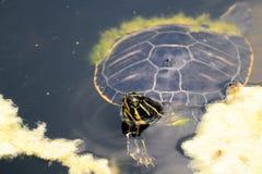 Florida Turtle Stock Photo
