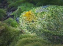 Florida Cootersköldpadda - kika ut ur Shell Arkivfoto