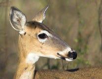 Florida Deer in the Everglades National Park. A Telephoto Closeup Photograph of a Florida Deer in the Everglades National Park royalty free stock photography