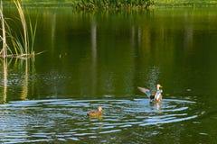 Florida Duck Taking Flight royaltyfri foto