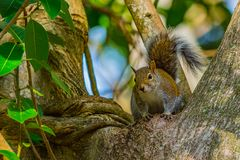 Up in the Tree with a Squirrel. A Florida eastern gray squirrel framed on a twisted shaped tree trunk royalty free stock photo