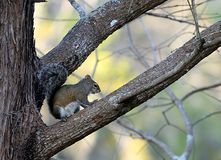 Florida-Eichhörnchen Stockfotos